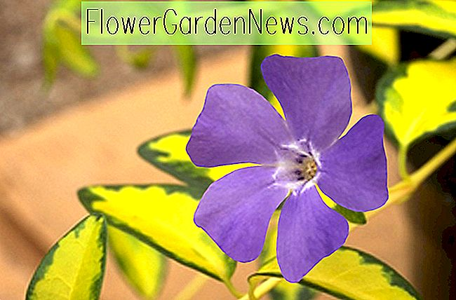 Vinca minor 'Illumination' (periwinkle)