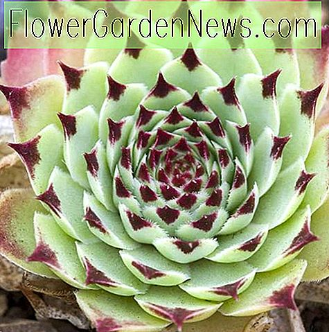 Sempervivum calcareum 'Sir William Lawrence' (ไก่และนก)