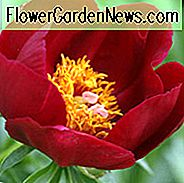 Paeonia 'Illini Warrior', Pfingstrose 'Illini Warrior', 'Illini Warrior' Pfingstrose, rote Pfingstrosen, rote Blüten