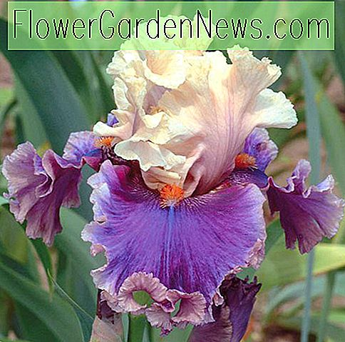 Iris 'Hold My Hand' (Iris barbudo)