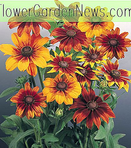 Rudbeckia hirta 'Autumn Colors' (Black-Eyed Susan)