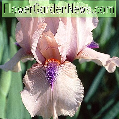 Iris 'Concertina' (Reblooming Bearded Iris)