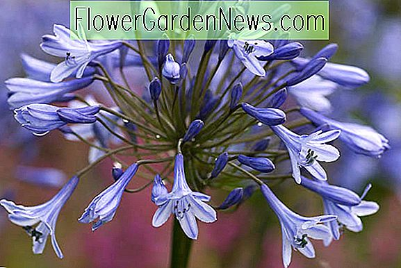 Agapanthus Dr.  Brouwer '(Afrikanische Lilie)