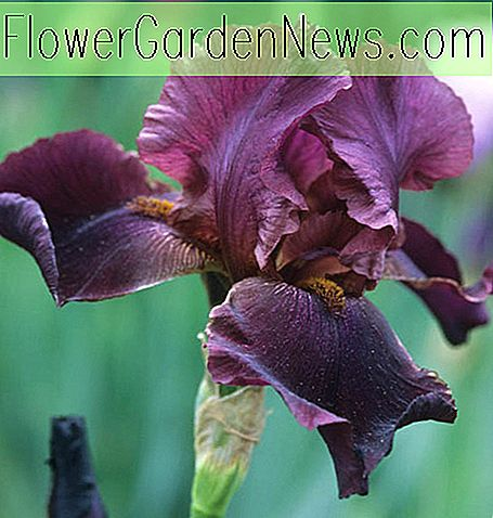 ไอริส 'Winesap' (Reblooming Bearded Iris)