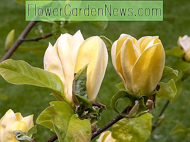 Magnolia 'Hot Flash'