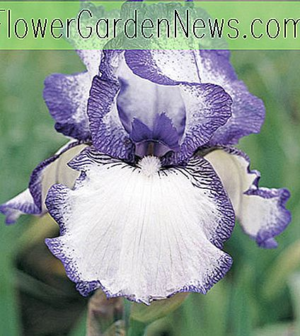 Iris 'Hemstitched' (Reblooming Bearded Iris)