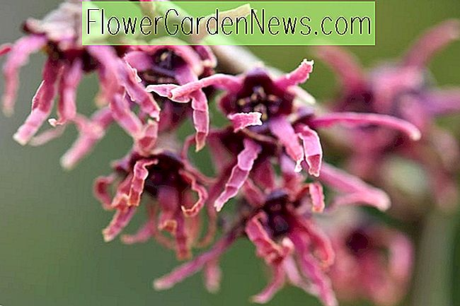 Hamamelis vernalis 'Kohankie Red' (Vernal Witch Hazel)