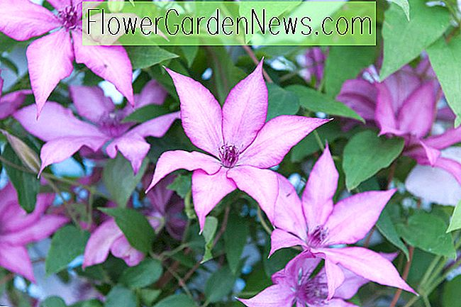 Clematis 'Giselle' (Large-Flowered Clematis)