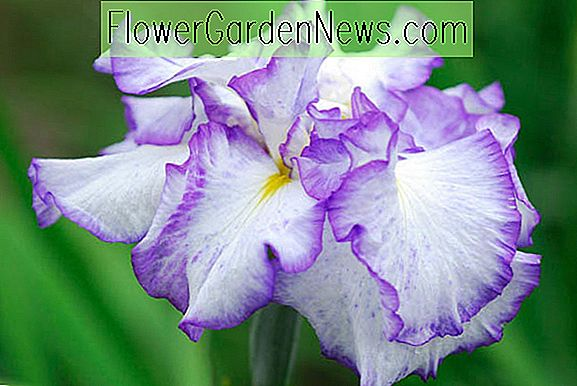 Iris ensata 'Frilled Enchantment' (japansk Iris)
