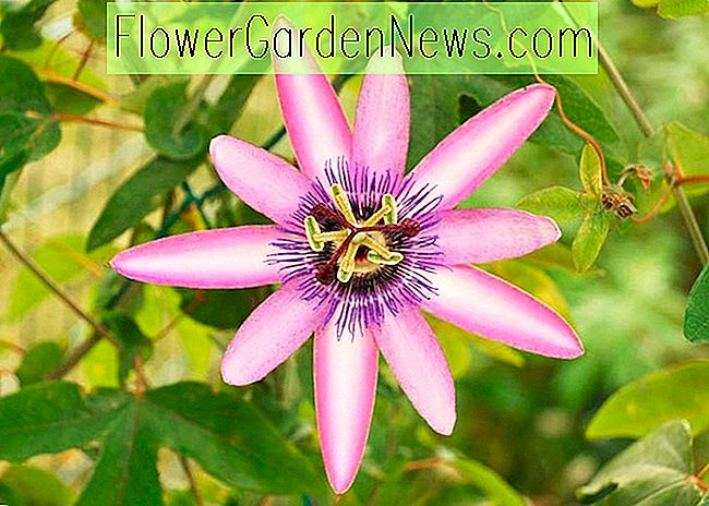Passiflora 'Lavendel Lady' (Passion Flower)
