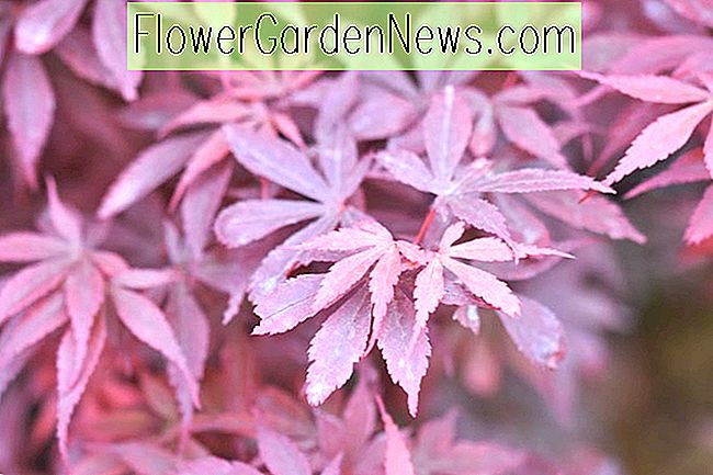 Acer palmatum 'Skeeter's Broom' (japanska Maple)