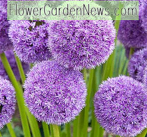 Allium 'Son Excellence' (Oignon ornemental)