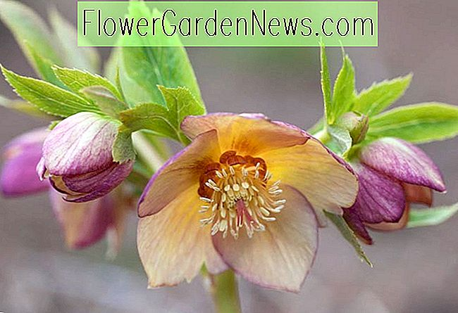 Helleborus Winter Jewels 'Golden Sunrise'