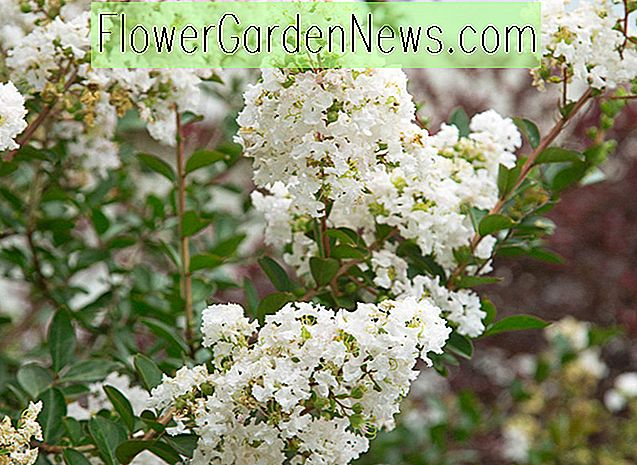 Lagerstroemia 'Early Bird White' (Crape Myrtle)