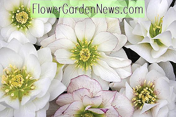 Helleborus Winter Jewels 'Sparkling Diamond'