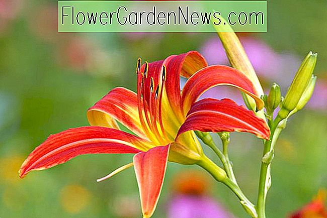 Hemerocallis 'Ming Toy' (Reblooming Daylily)