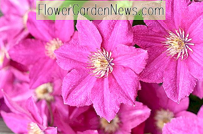 Clematis 'Asao' (Early Large-Flowered Clematis)