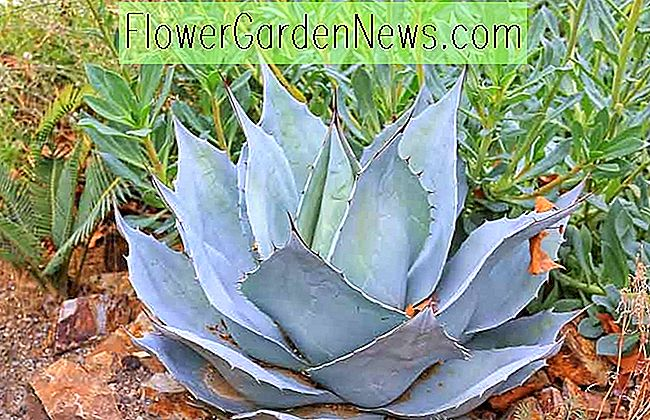 Agave ovatifolia 'Frosty Blue' (Wal-Zunge Agave)