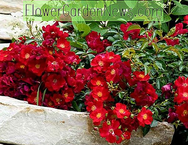 Rosa 'Flower Carpet Scarlet'