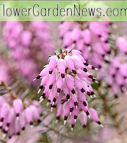 Erica Carnea 'December Red' (Winter Heath)