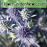 Eryngium Planum 'Blue Hobbit', Blue Eryngo 'Blue Hobbit', Flat Sea Holly 'Blue Hobbit', Eryngium 'Blue Hobbit', Sea Holly 'Blue Hobbit', Trockene Bodenpflanzen, Sandige Bodenpflanzen, Blaue Blüten, Blaue Stauden