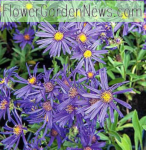 Aster amellus 'Violet Queen' o 'Veilchenkönigin' (Asters italianos)