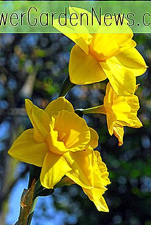 Narciso 'Trevithian' (Jonquil Daffodil)