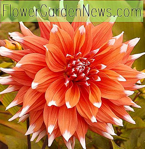 Dahlia 'Color Spectacle'