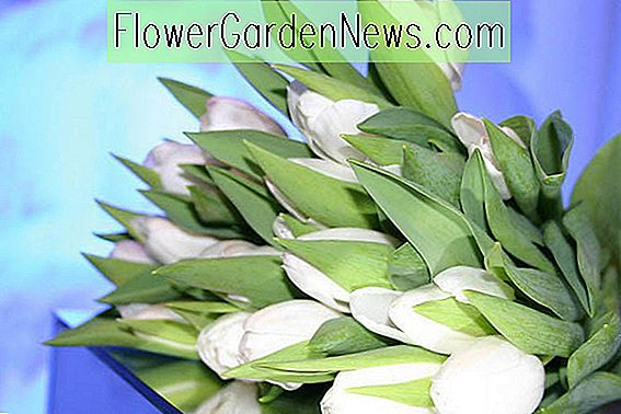 Tulipa 'White Dream' (Triumf Tulip)