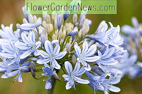 Agapanthus 'Luly', Lilie des Nil 'Luly', afrikanische Lilie 'Luly', blaue Blume, purpurrote Blume, blauer Agapanthus