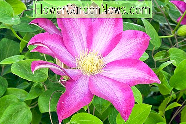 Clematis 'Pink Champagne' (Early Large-Flowered Clematis)