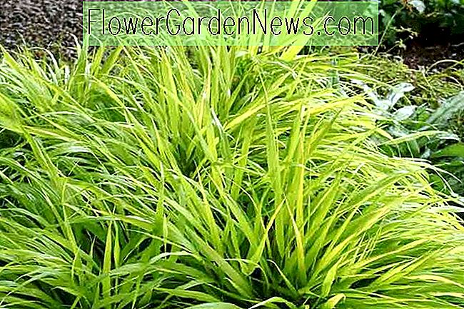 Hakonechloa macra 'All Gold' (Hakone Grass)