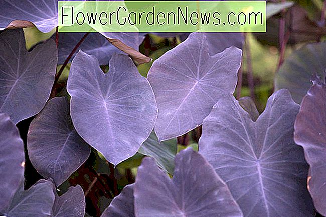 Colocasia esculenta 'Black Magic' (Taro)