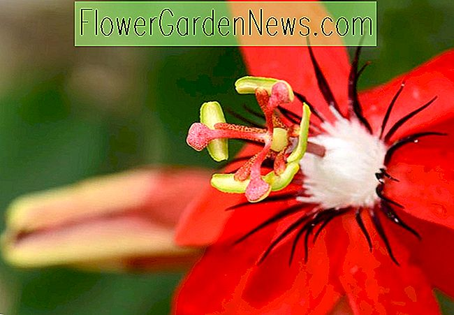 Passiflora racemosa (Red Passion Flower)