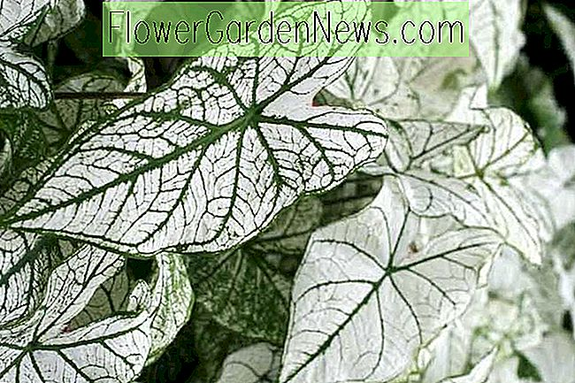 Caladium 'White Christmas' (Angel Wings)