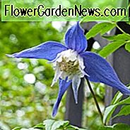 Clematis alpina Frances Rivis, Clematis 'Frances Rivis', Clematis alpina, Atragene Clematis, Gruppe 1 Clematis, Kleinblütige Clematis, blaue Clematis, Clematis Rebe, Clematis Plant, Blumen Reben, Clematis Flower, Clematis Pruning