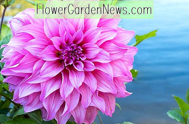 Dahlia 'Lavender Perfection'