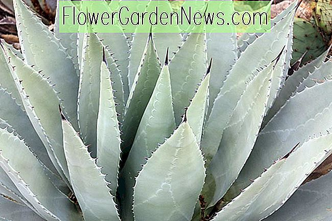 Agave parryi var.  huachucensis (Artichoke Agave)