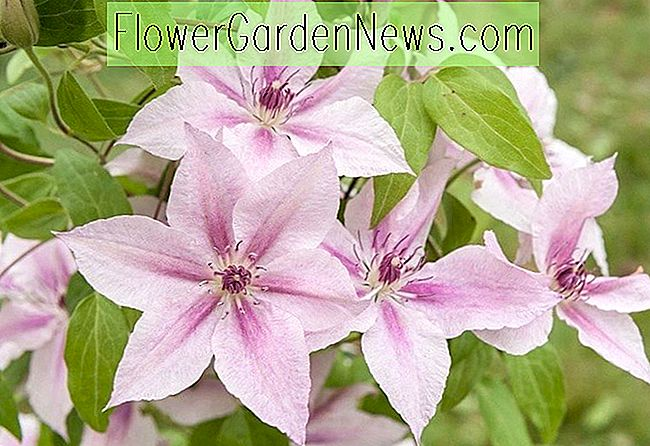 Clematis 'Pink Fantasy (Late Large-Flowered Clematis)