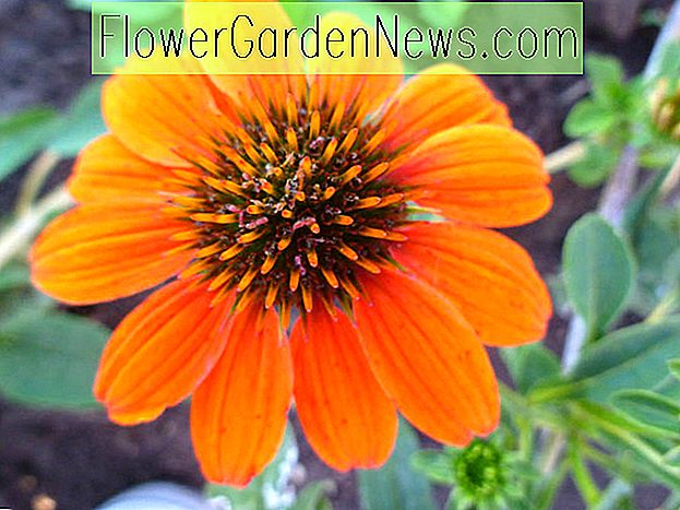 Echinacea 'Sombrero Adobe Orange' (Sonnenhut)