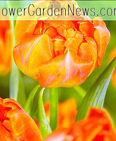 Tulipa 'Monte Orange' (Double Early Tulip)