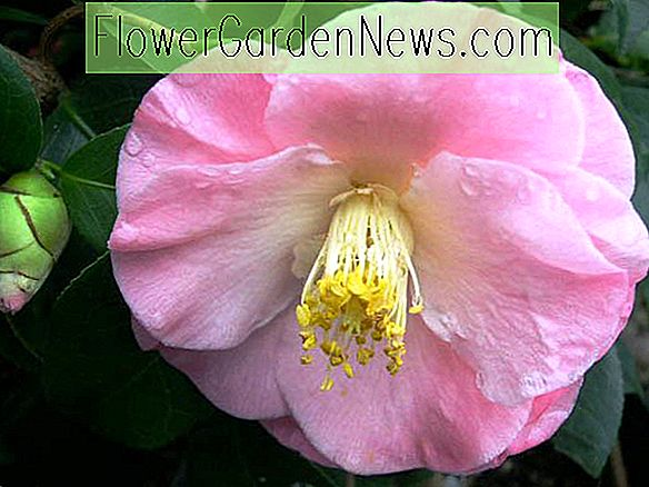 Camellia japonica 'April Remembered'