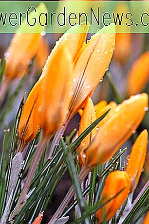 Crocus x luteus 'Golden Yellow'