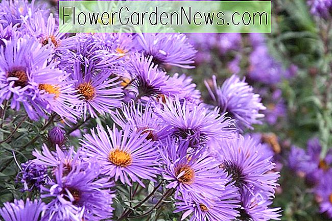 Aster novae-angliae 'Purple Cloud' (New England Asters)