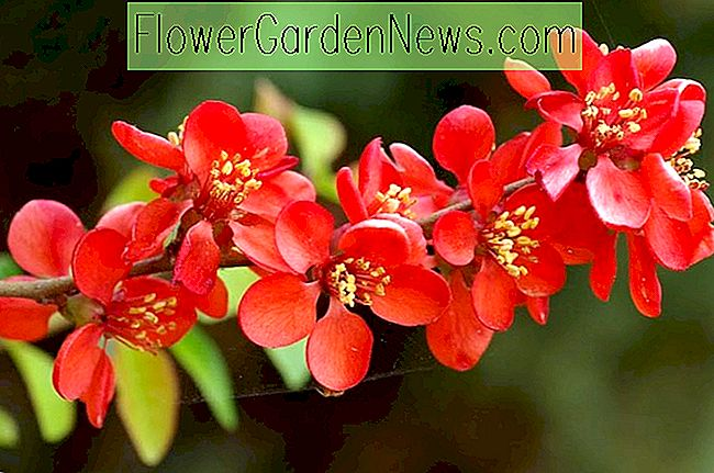 Chaenomeles x superba 'Crimson and Gold' (Japanse kweepeer)