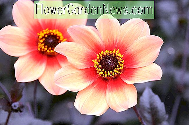 Dahlia 'Happy Single First Love'