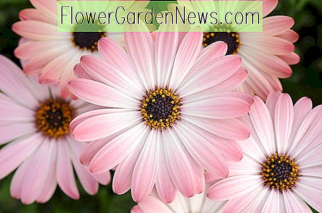 Osteospermum 'Serenity Pink Magic' (Margarita africana)