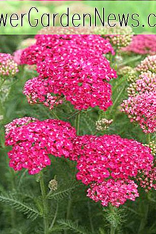Achillea millefolium 'Saucy Seduction' (Yarrow)