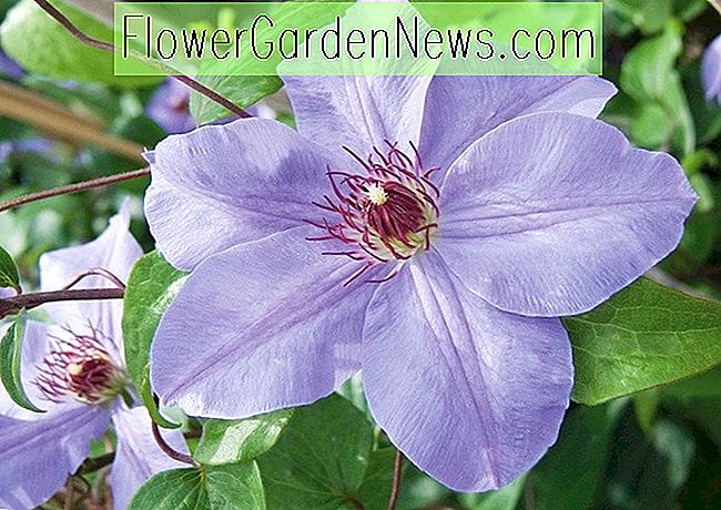 Clematis 'Ramona' (Late Large-Flowered Clematis)