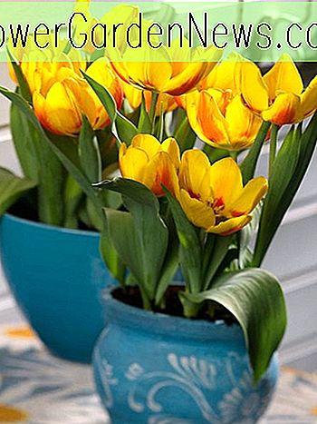 Tulipa 'Flair', Tulip 'Flair', Single Early Tulip Flair ', Single Early Tulips, Spring Bulbs, Lentebloemen, Yellow Tulip, Bicolor Tulip